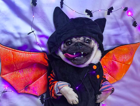 A pug dressed in a Halloween costume